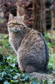 image of wildcat  - European wildcat sitting in a meadow near the forest in fall - JPG