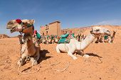 stock photo of sahara desert  - resting camels in Sahara desert near an ancient temple Wadi EL Seboua which means valley of lions Lake Nasser Egypt Africa - JPG