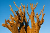 image of dead plant  - treetop of a dead kookerboom in the evening sun quivertree forest Keetmanshoop Namibia Africa - JPG