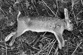 pic of wild-rabbit  - Dead wild rabbit with shotgun pellet wounds shot as a pest by farmer  - JPG