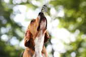 picture of hound dog  - Colorful butterfly sitting on dog - JPG
