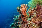 image of aquatic animal  - Colorful underwater offshore rocky reef with coral and sponges and small tropical fish swimming by in a blue ocean - JPG
