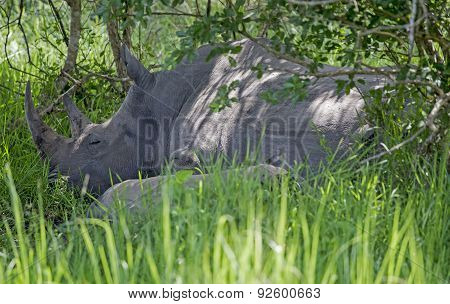 Rhinoceros sleeping at Ziwa Rhino Sanctuary