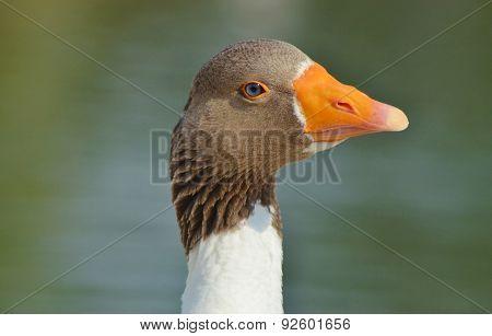 Goose Head