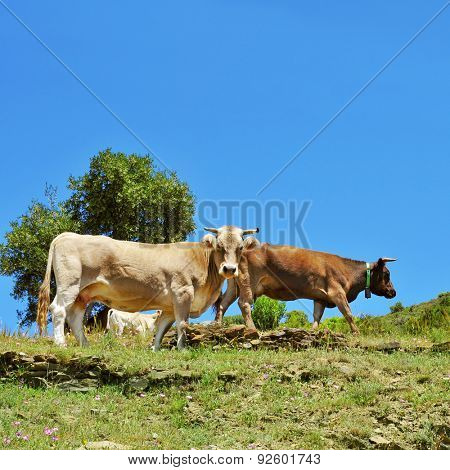 some brown cows grazing free in the countryside in Spain