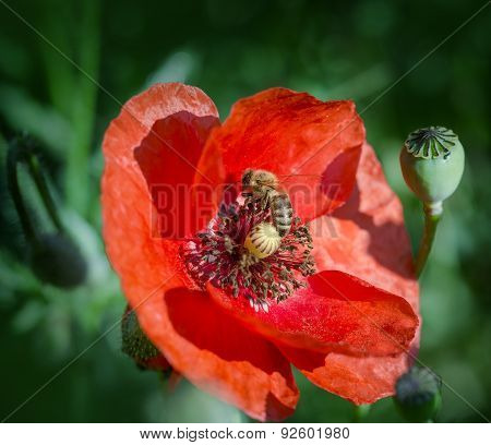 Bee on red poppy flower close-up