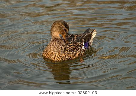 Duck - female