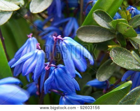 Squill flowers