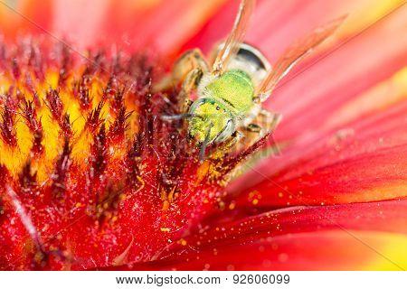 Green Metallic Bee