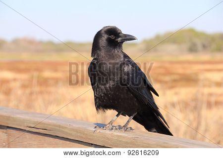 Fish Crow Looking Left