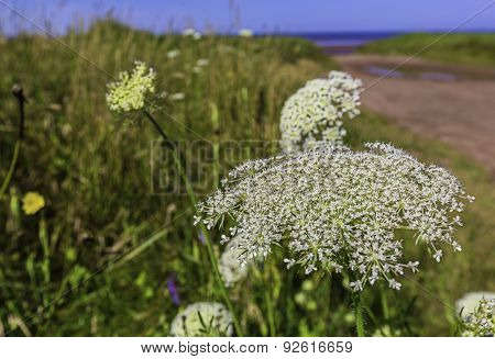 Queen Anne's Lace growing along the beach in rural Prince Edward Island, Canada.
