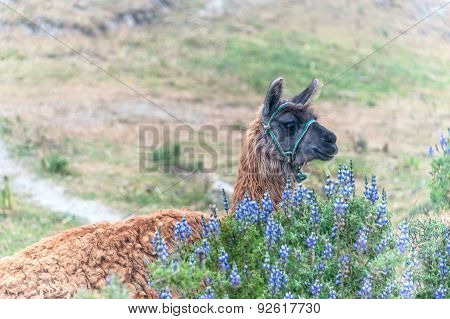 Llama, South American Camelid, Andes