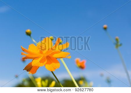 Yellow Cosmos Flowers.