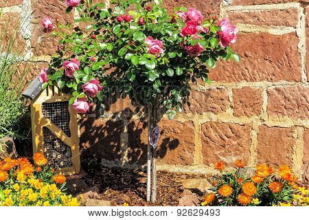 Pink stem roses and strawflowers in front of stone wall in a garden