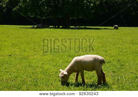 Young lamb grazing in Spring.