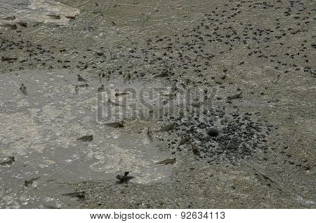 Mudskippers In The Mangrove Forest