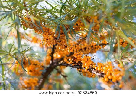 See-buckthorn Berries
