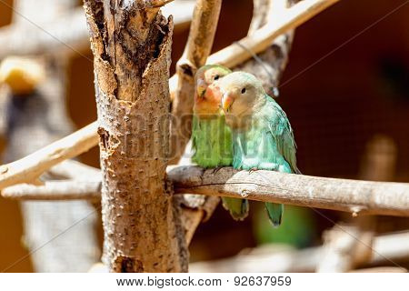 Peach-faced Lovebirds Parrots