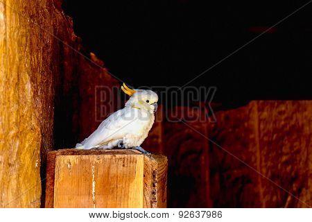 Sulphur-crested Cockatoo Or Cacatua Galerita Parrot