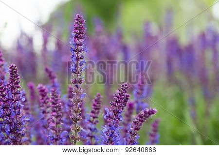 Sage Flowers, Salvia Officinalis, May, Dobrogea, Romania