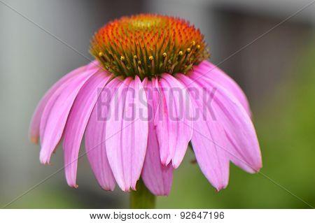 Purple coneflower flower