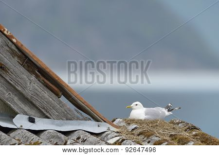 Common Gull nesting