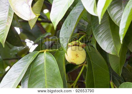 Mangosteen Fruit On Tree
