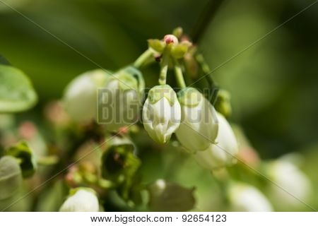Northern Highbush Blueberry White Flowers And Buds
