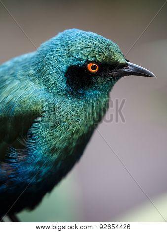 Glossy Starling Bird