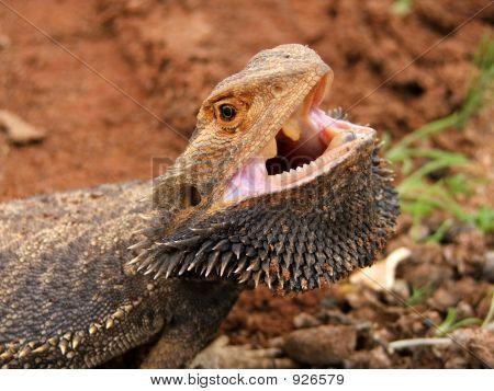 Angry Bearded Dragon