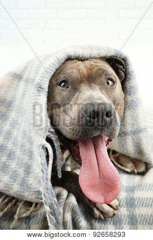 Cute dog lying on sofa under plaid, on home interior background