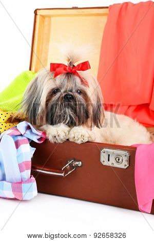 Cute Shih Tzu in suitcase with clothes, closeup