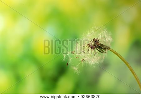 Blown dandelion on green blurred background