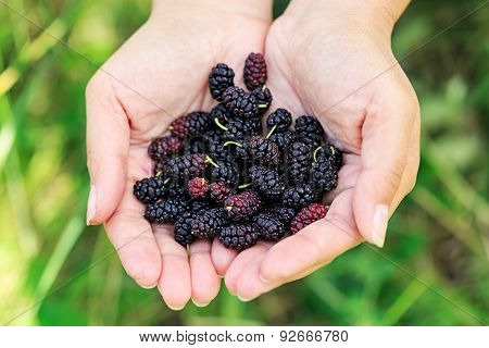 Ripe Mulberries In The Hands Of The Girl