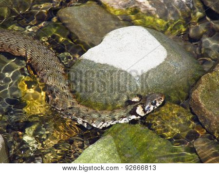 grass snake in the water