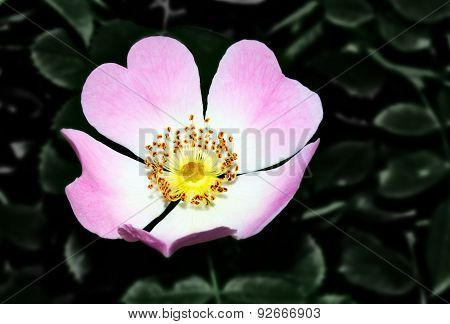 Dogrose With Heart
