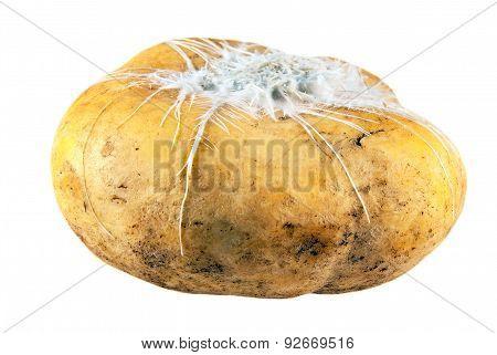 Spoiled turnip