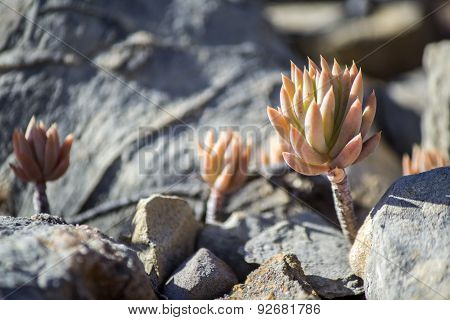 Sedum Sediforme, A Genus Of Flowering Plants In The Family Crassulaceae