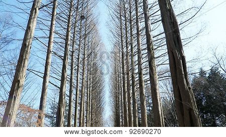 pine tree on Nami island