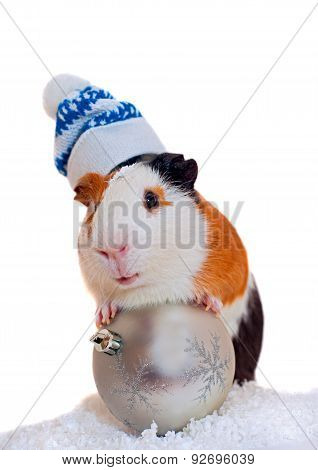 guinea pig in winter hat