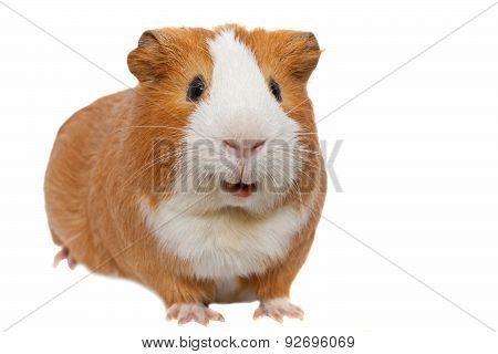 red and white guinea pig isolated on white