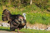 foto of wild turkey  - Wild turkey strutting for a mate in the spring mating season - JPG