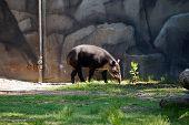image of tapir  - A lowland tapir  - JPG