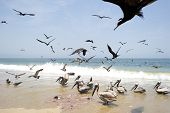 picture of feeding  - Birds feeding on the beach along the coast. ** Note: Soft Focus at 100%, best at smaller sizes - JPG