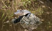 foto of swamps  - Baby alligator lying on piece of wood in the middle of Louisiana swamps - JPG