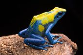 image of orange frog  - Poison arrow frog from the tropical Amazon rain forest - JPG