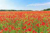 foto of poppy flower  - Red poppy flowers in the fields and expanses of the Crimea - JPG