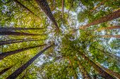 picture of redwood forest  - Looking up in a redwood forest in Northern California - JPG