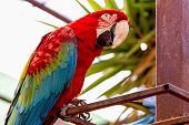 stock photo of cockatoos  - Red Macaw or Ara cockatoos parrot siting on metal perch in zoo - JPG