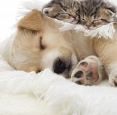 stock photo of puppy kitten  - kittens and puppy sleeping on a white veil - JPG